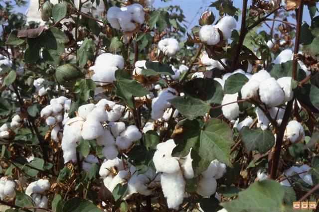 Şanlıurfa'da 105 ton pamuk yandı