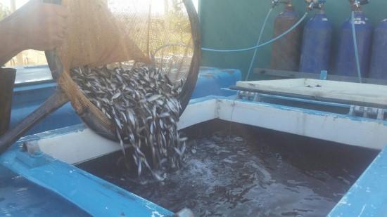 Şabut balığı 13 baraj gölünde yetiştirilecek
