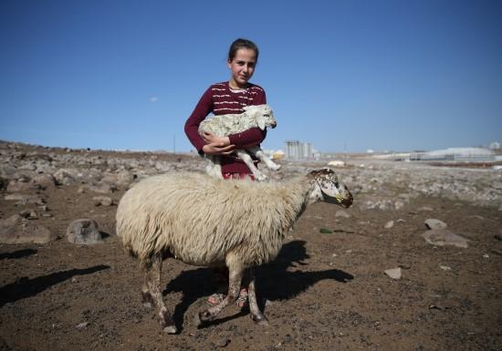 Şanlıurfa'da, koyunlar yavrulamaya başladı