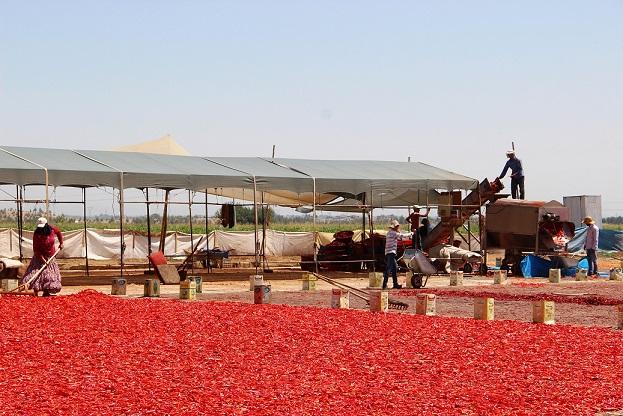 Şanlıurfa'da isotun üretim serüveni başladı