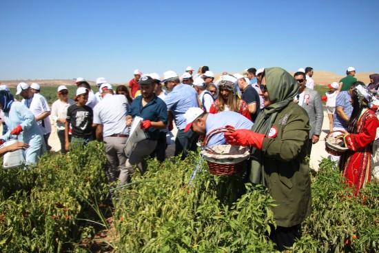 Belediye Başkanları isot hasadına katıldı