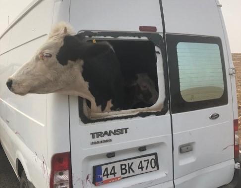 Çalıntı minibüsle hayvan hırsızlığı