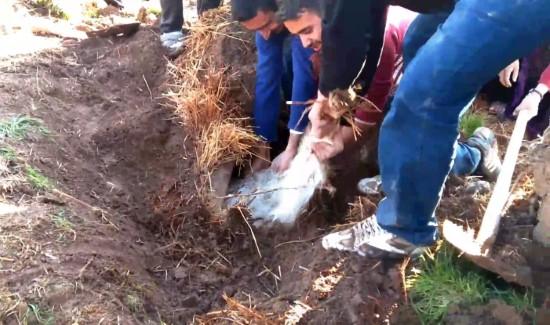 Şanlıurfa'da ahır çöktü, 8 hayvan telef oldu - Video