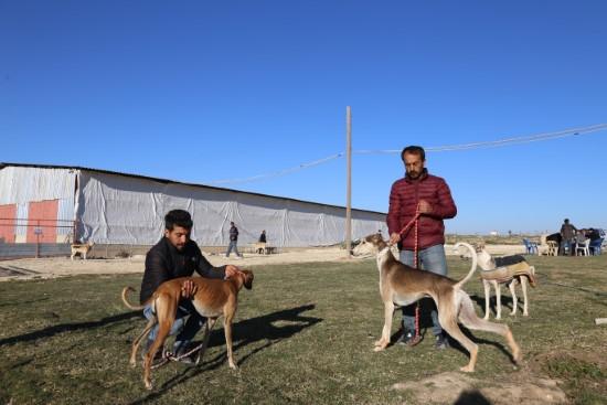 Avcıların tazıları Şanlıurfa'da yetiştiriliyor
