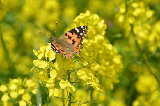 Şanlıurfa'da kelebek göçü görüntülendi