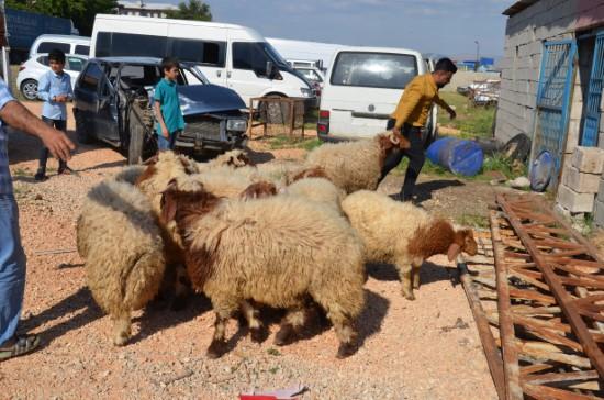 Şanlıurfa'dan kaçak getirilen 50 koyun ele geçirildi