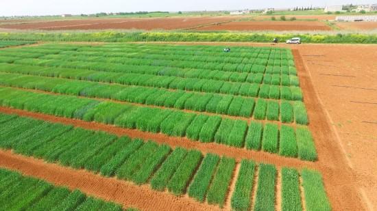 Tescilli yerli buğday çeşitleri verimi artıracak
