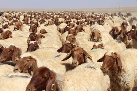 35 bin koyuna 35 bin koç katımı yapıldı