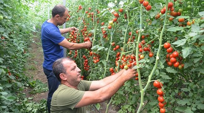 Maraş'ın domateslerine Urfa'dan talep