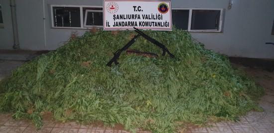 Şanlıurfa'da 4 bin kök kenevir ele geçirildi