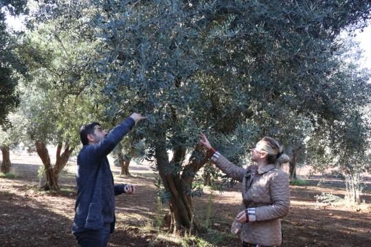 Farklı zeytin ağaçları verimi yüzde 30-35 artırıyor