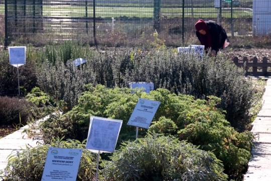 Şanlıurfa'da tıbbi ve aromatik bitki atağı
