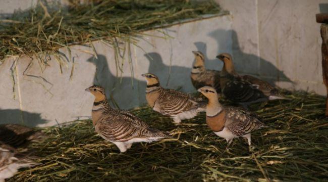 Şanlıurfa'da tedavisi tamamlanan kılkuyruk bağırtlak kuşları doğaya bırakıldı