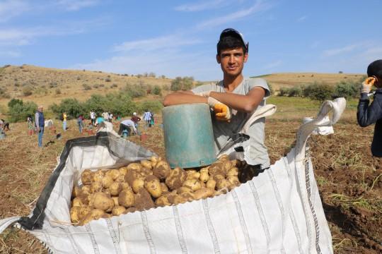Patatesin tarlada 75 kuruşa düşmesi üreticiyi üzdü
