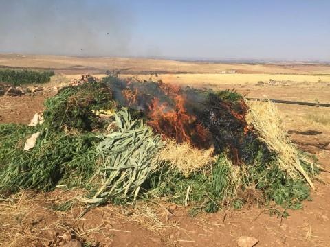Mısır tarlasında uyuşturucu operasyonu ( Video Haber )